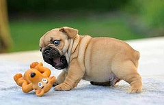 Pug-puppy-biting-toy